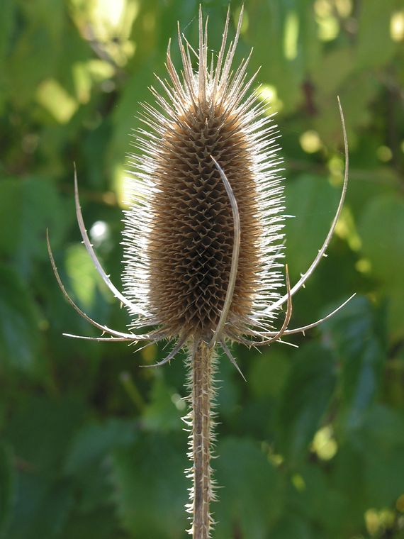 Teasel photo