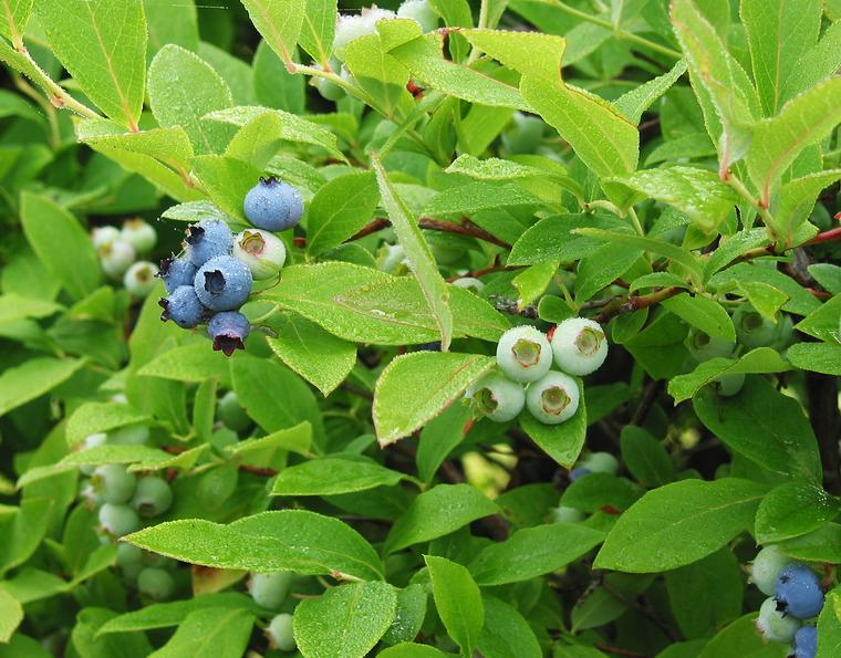 Blueberries photo