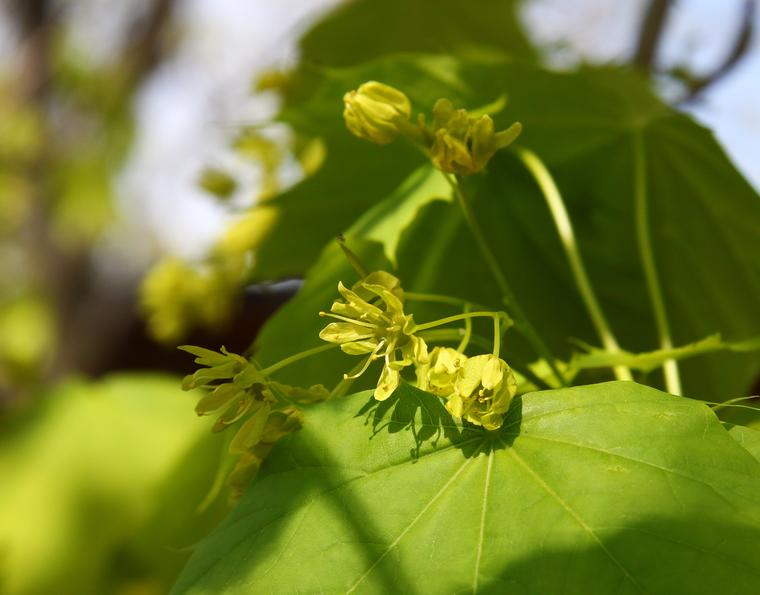 Maple Flowers photo