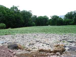 """Flood Damaged Cornfield"""