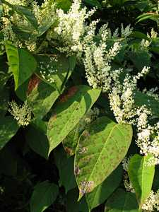 """Knotweed in Autumn"" image"