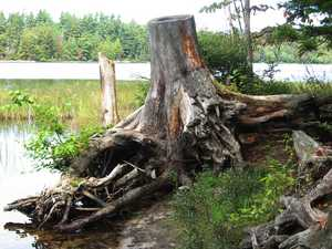 """Gnarled Stump"""
