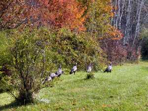 """Turkey Flock"" image"