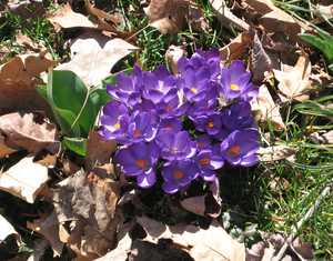 """Crocuses"" image"