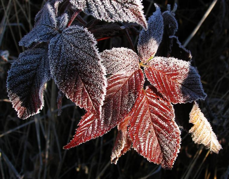 Frosted Berry Leaves photo