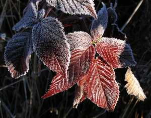 """Frosted Berry Leaves"" image"