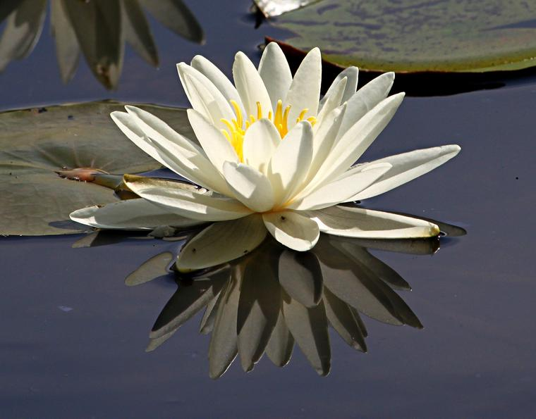 Lily Reflections photo