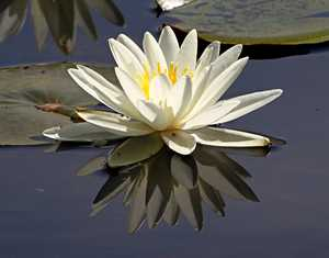 """Lily Reflections"" image"