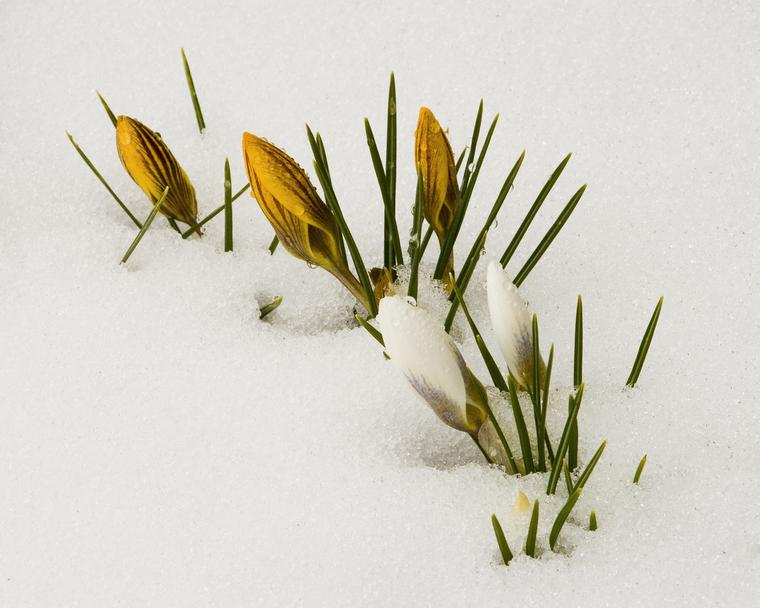 Crocus in Snow photo