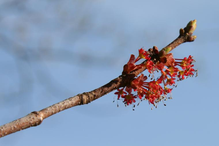 Maple Buds photo