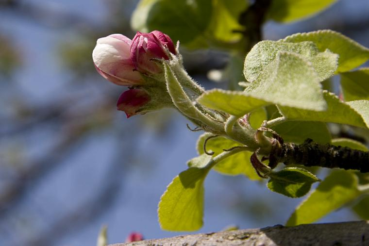 Apple Buds photo