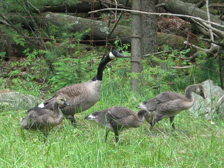 Canada Goslings photo