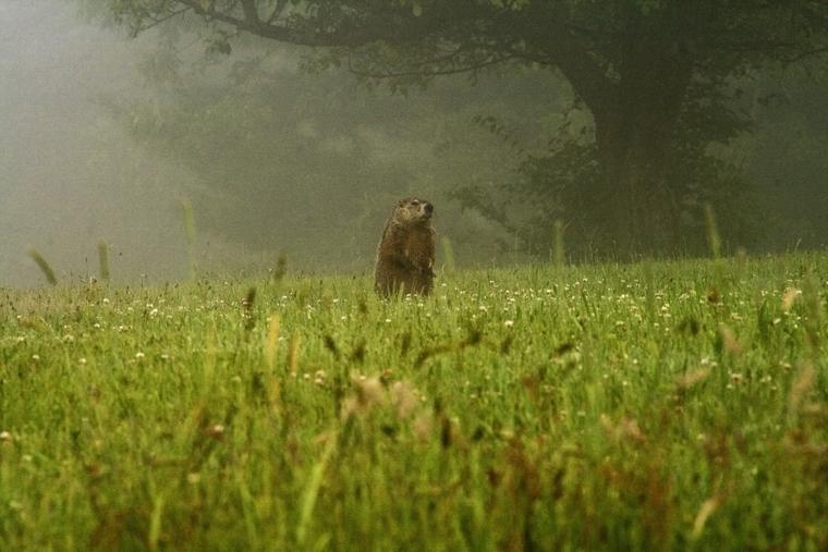 Groundhog Art photo
