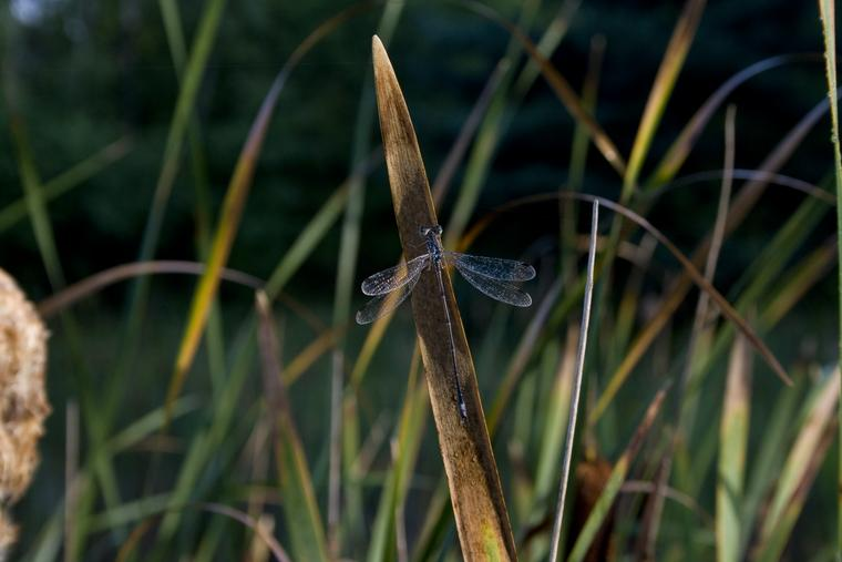 Misty Dragonfly photo