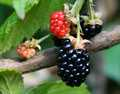 """Wild Blackberries"""