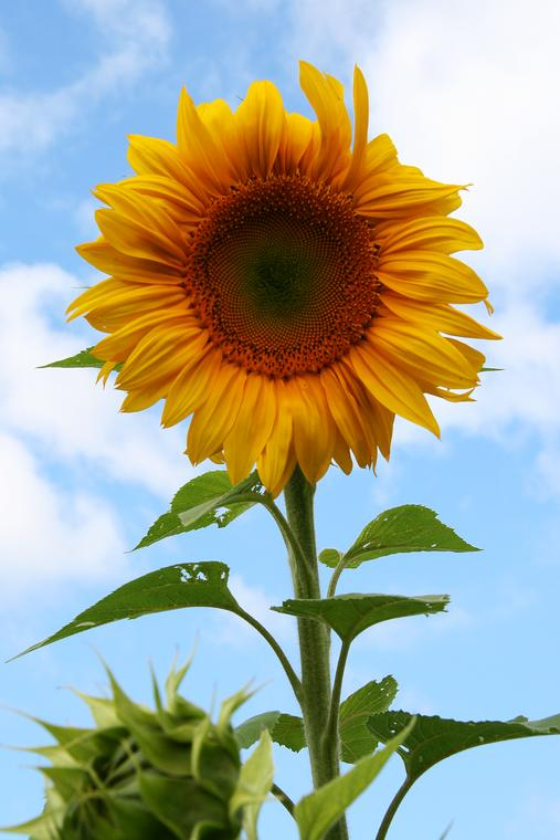 Full Sunflower photo