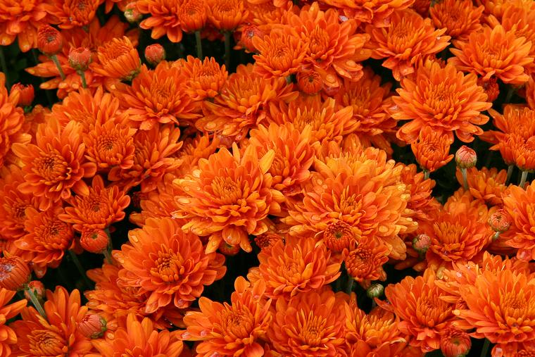 Chrysanthemums photo