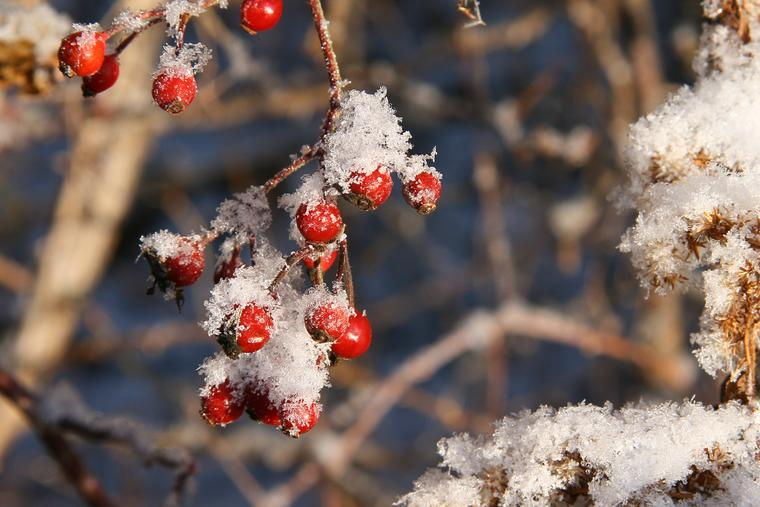 Frosty Rose Hips photo