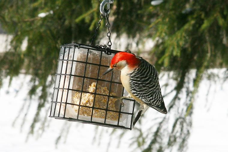 Red-bellied Woodpecker photo