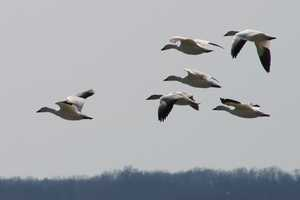 """Snow geese in flight"""
