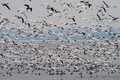 """Mass ascent II – Snow Geese over Cayuga Lake"""