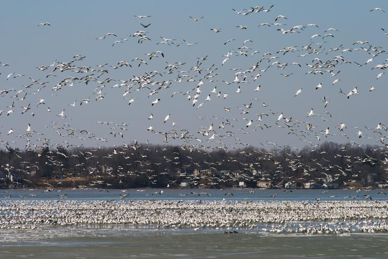 Skyfull of Snow geese photo