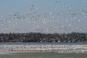 """Skyfull of Snow geese"" image"