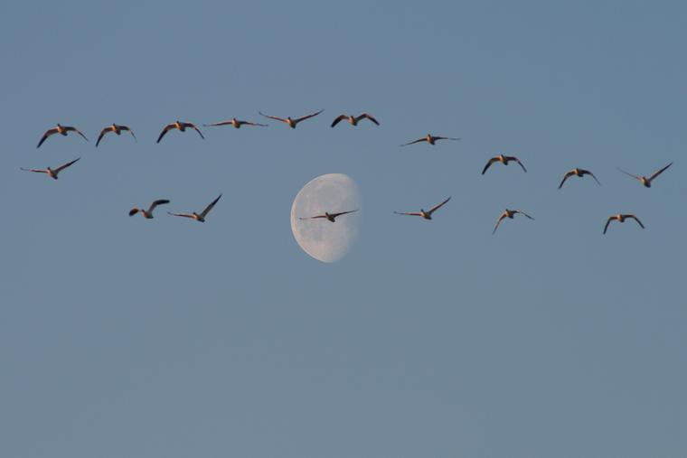 Snow geese and moon photo