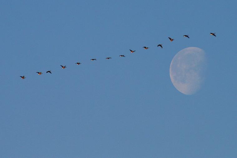 Canada geese and moon photo