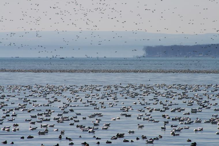 Lakefull of Snow geese photo