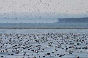 """Lakefull of Snow geese"""