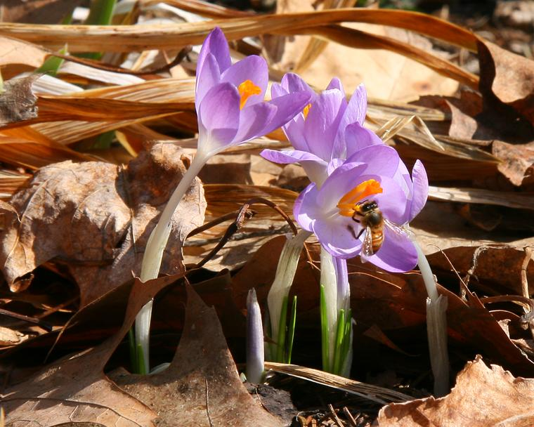 Crocus Pollenator photo
