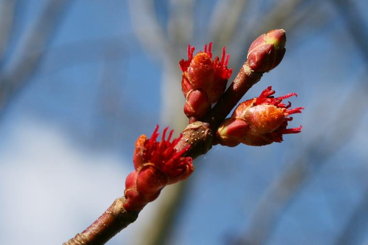 Maple Buds III photo