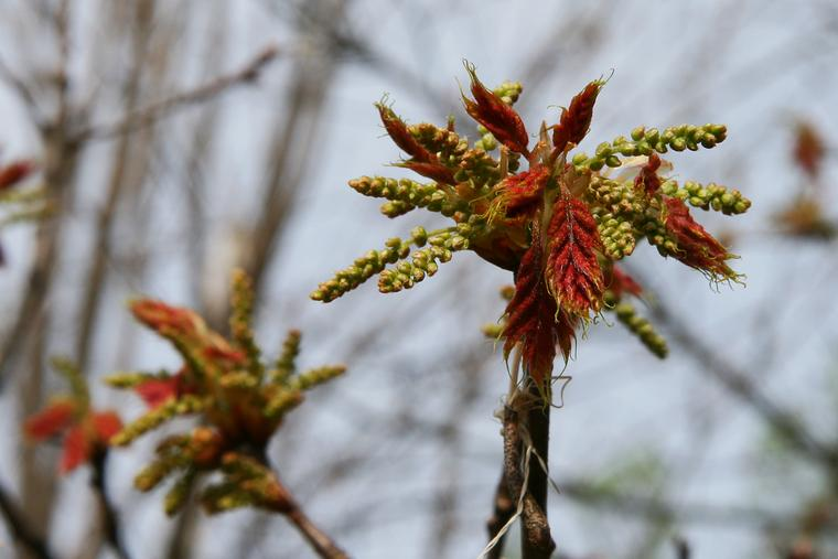 Oak Buds photo