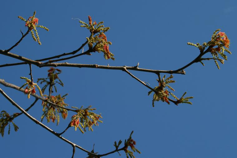 Oak Buds II photo