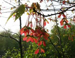 """Red Maple Pods"" image"