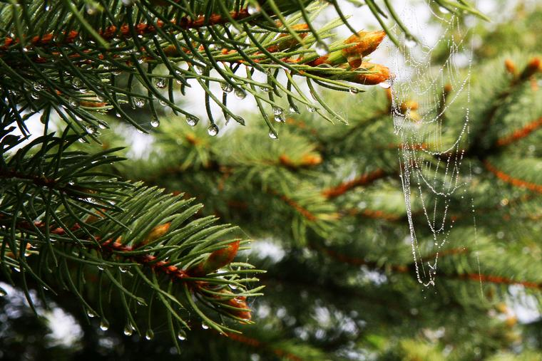 Spruce and Web photo