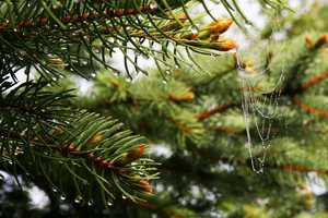 """Spruce and Web"" image"