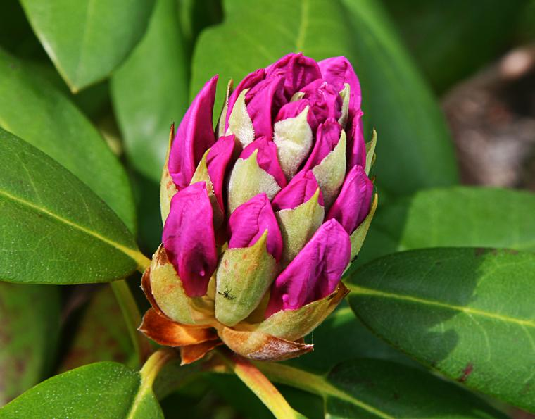 Rhododendron Bud photo