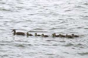 """Ducks-in-a-row practice!"" image"