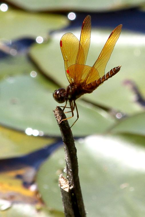 Golden dragonfly photo
