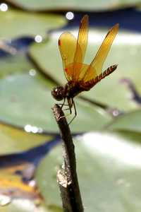 """Golden dragonfly"" image"