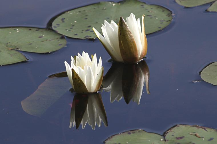 More Water Lilies photo