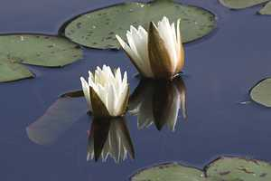 """More Water Lilies"""
