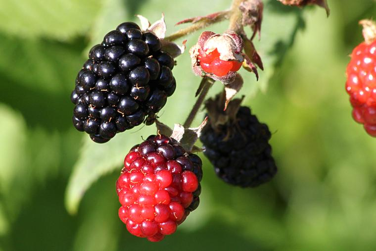 Wild Blackberries on the vine photo