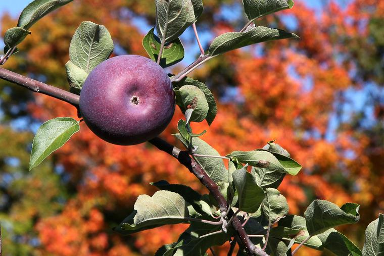 Autumn foliage with apple photo