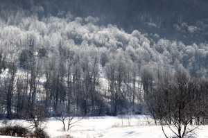 """Frosted Trees"""