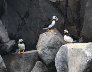 """Puffins"" image"